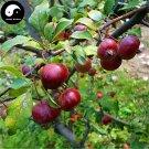 Buy Mini Malus Fruit Tree Seeds 60pcs Plant Octopus Begonia For Cute Apple