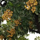 Buy Longan Fruit Tree Seeds 30pcs Plant Longan For Chinese Fruit Longan