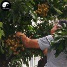 Buy Longan Fruit Tree Seeds 60pcs Plant Longan For Chinese Fruit Longan