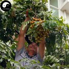 Buy Longan Fruit Tree Seeds 120pcs Plant Longan For Chinese Fruit Longan