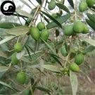 Buy Olea Europaea Tree Seeds 6pcs Plant Olives Tree For Olivaris Fruit Gan Lan