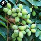 Buy White Olive Tree Seeds 12pcs Plant Green Olive Tree For Fruit Gan Lan