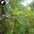 Buy Phyllanthi Fruit Tree Seeds 120pcs Plant Phyllanthus Tree For Fruit Yu Gan