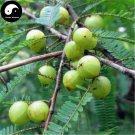 Buy Phyllanthi Fruit Tree Seeds 60pcs Plant Phyllanthus Tree For Fruit Yu Gan