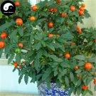 Buy Solanum Pseudocapsicum Tree Seeds 240pcs Plant Ornamental Orange Fruit Bonsai