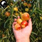 Buy Chinese Date Fruit Tree Seeds 25pcs Plant Ziziphus Jujuba For Sweet Jujube