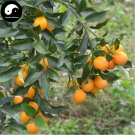 Buy Mini Orange Fruit Seeds 240pcs Plant Fortunella Margarita For Fruit Orange