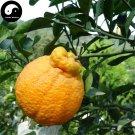 Buy Ugly Orange Fruit Seeds 60pcs Plant Citrus Tree For Fruit Sweet Orange