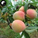Buy Peach Fruit Seeds 40pcs Plant Prunus Persica Tree For Fruit Shui Mi Tao