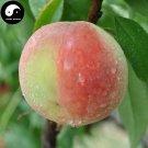 Buy Peach Fruit Seeds 10pcs Plant Prunus Persica Tree For Fruit Shui Mi Tao