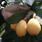 Buy Loquat Fruit Seeds 10pcs Plant Eriobotrya Japonica Tree For Fruit Loquat