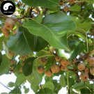 Buy Bean Pear Fruit Tree Seeds 240pcs Plant Callery Pear For Wild Fruit Pyrus