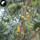 Buy Begonia Fruit Tree Seeds 60pcs Plant Strigose Hydrangea For Wild Fruit Malus