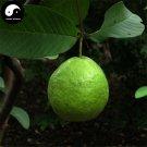 Buy Guava Fruit Tree Seeds 60pcs Plant Psidium Guajava For Fruit Fan Shi Liu