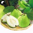 Buy Guava Fruit Tree Seeds 120pcs Plant Psidium Guajava For Fruit Fan Shi Liu