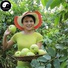 Buy Guava Fruit Tree Seeds 240pcs Plant Psidium Guajava For Fruit Fan Shi Liu
