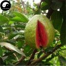 Buy Guava Fruit Tree Seeds 60pcs Plant Red Psidium Guajava For Fruit Fan Shi Li