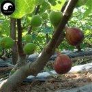 Buy Ficus Carica Fruit Tree Seeds 60pcs Plant Fruit Figs For Fruit Ficus Carica