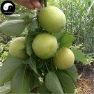 Buy Sour Vatica Fruit Tree Seeds 60pcs Plant Fruit Vatica For Qing Mei Fruit