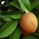 Buy Rare Sapodilla Fruit Tree Seeds 15pcs Plant Heart Fruit For Manilkara Zapota