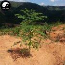 Buy Moringa Tree Seeds 40pcs Plant Moringa Oleifera Tree For Drumstick Lamu