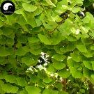Buy Ginkgo Biloba Tree Seeds 30pcs Plant Ginkgo Yin Xing Tree For Herb Bai Guo