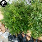 Buy Rare Phoebe Zhennan Tree Seeds 120pcs Plant Phoebe Zhennan Tree Nan Mu