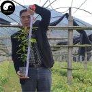 Buy Rare Phoebe Zhennan Tree Seeds 30pcs Plant Phoebe Zhennan Tree Nan Mu