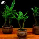 Buy Lobular Red Sandalwood Tree Seeds 100pcs Plant Pterocarpus Santalinus Zi Tan