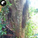 Buy Sandalwood Tree Seeds 80pcs Plant Santalum Album Rare Sanders Tan Xiang