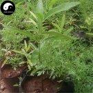 Buy Sandalwood Tree Seeds 20pcs Plant Santalum Album Rare Sanders Tan Xiang