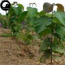 Buy Tectona Grandis Tree Seeds 40pcs Plant Golden Tik Rare Hard Wood Teak You Mu