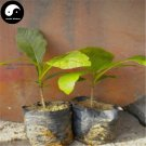 Buy Tectona Grandis Tree Seeds 20pcs Plant Golden Tik Rare Hard Wood Teak You Mu
