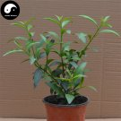Buy Cordate Telosma Tree Seeds 240pcs Plant Tuberose Tree For Ye Lai Xiang