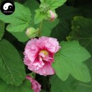 Buy Althaea Rosea Tree Seeds 60pcs Plant Althaea Rosea For Shu Kui Flower