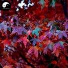 Buy Pentaphyll Maple Tree Seeds 400pcs Plant Truncate Maple For Acer Truncatum
