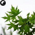 Buy Pentaphyll Maple Tree Seeds 200pcs Plant Truncate Maple For Acer Truncatum