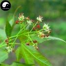 Buy Pentaphyll Maple Tree Seeds 100pcs Plant Truncate Maple For Acer Truncatum