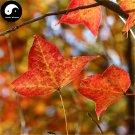 Buy Triangular Maple Tree Seeds 200pcs Plant Chinese Maple For Acer Truncatum
