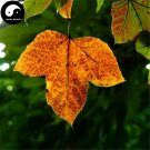 Buy Triangular Maple Tree Seeds 100pcs Plant Chinese Maple For Acer Truncatum