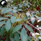 Buy Fraxinus Chinensis Tree Seeds 240pcs Plant Ash Tree For Fraxinus Bai La