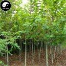 Buy Phoenix Tree Seeds 240pcs Plant Firmiana Platanifolia Tree For Wu Tong