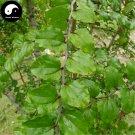 Buy Thorny Tree Seeds 120pcs Plant Paliurus Ramosissimus Tree For Thorny Tree