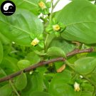 Buy Camphor Tree Seeds 60pcs Plant Cinnamomum Camphora For Chinese Camphor Tree