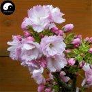Buy Sakura Tree Seeds 60pcs Plant Prunus Serrulata For Cherry Blossoms