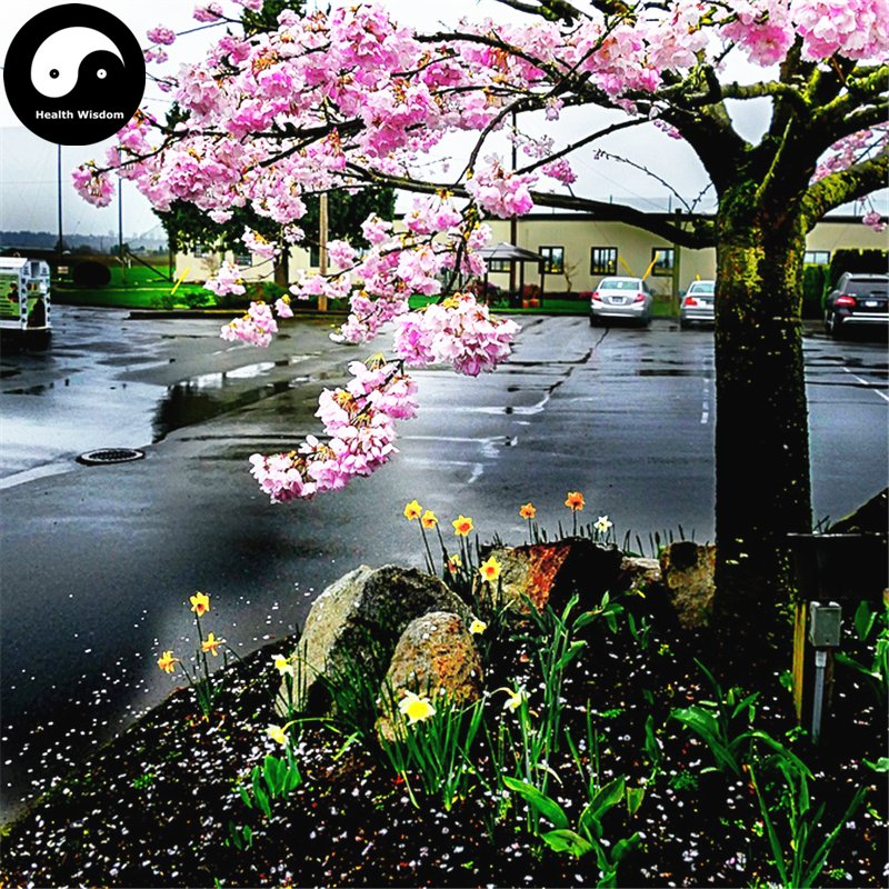 Buy Sakura Tree Seeds 120pcs Plant Prunus Serrulata For Cherry Blossoms