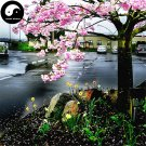 Buy Sakura Tree Seeds 120pcs Plant Prunus Serrulata For Cherry Blossoms