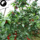 Buy Hosiei Tree Seeds 200pcs Plant Ormosia Hosiei For Chinese Red Bean Tree