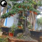 Buy Diospyros Armata Tree Seeds 30pcs Plant Chinese Gold Beard Tree Bonsai