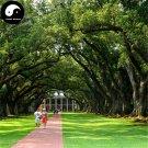Buy Oak Tree Seeds 60pcs Plant Chinese Quercus Acuta Tree For Quercus Xiang Shu